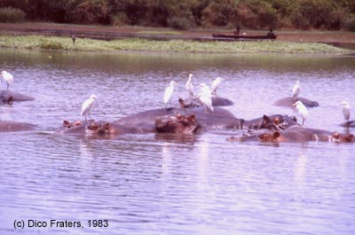 Cattle Egrets sitting on hippopotami in a small lake near the river